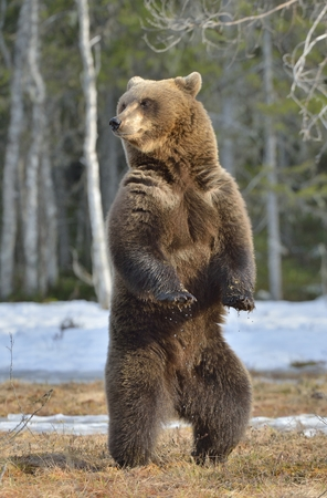 Brown bear (Ursus arctos) standing on his hind legs on a bog in the spring forest.