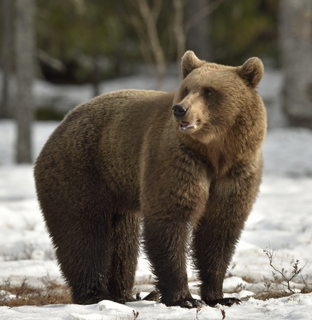 Brown Bear (Ursus arctos) on a bog in the spring forest. Stok Fotoğraf - 58222571