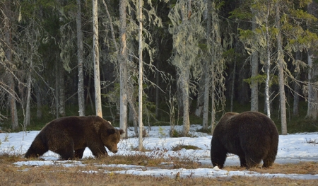 domination: The conflict of two brown bears for domination. Adult male of Brown Bear (Ursus arctos) on the snow bog in spring forest. Stock Photo