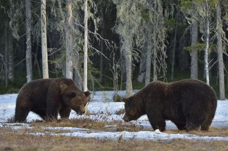 dominacion: El conflicto de dos osos marrones para la dominación masculina adulta de oso pardo (Ursus arctos) en la ciénaga de la nieve en el bosque de la primavera.