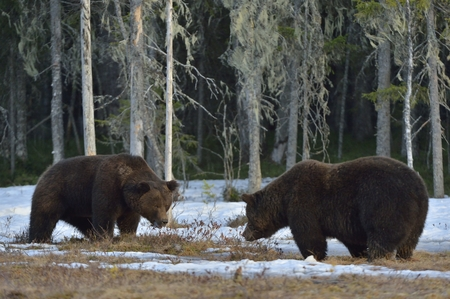 domination: The conflict of two brown bears for domination Adult male of Brown Bear (Ursus arctos) on the snow bog in spring forest. Stock Photo