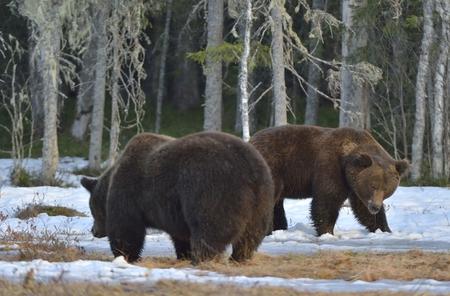 dominacion: El conflicto de dos osos marrones de dominación. El macho adulto de oso pardo (Ursus arctos) en el pantano de la nieve en el bosque de la primavera.