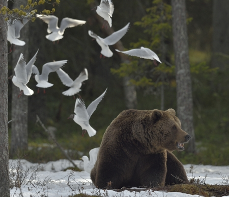 ursus: Seagulls and Adult male of Brown Bear (Ursus arctos) on the snow in spring forest.