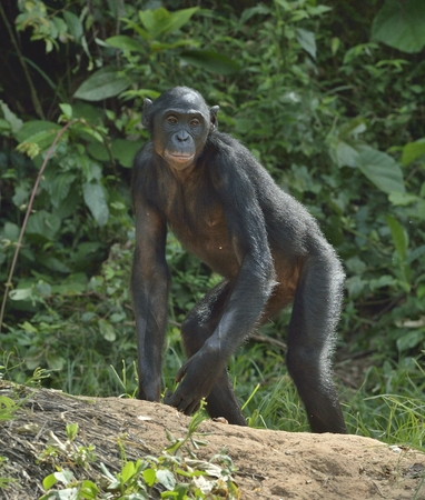 pan paniscus: The chimpanzee Bonobo on the green natural background. The bonobo ( Pan paniscus). Democratic Republic of Congo. Africa Stock Photo