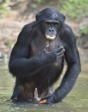 Bonobo standing in water looks for the fruit which fell in water. Bonobo ( Pan paniscus ). Democratic Republic of Congo. Africa