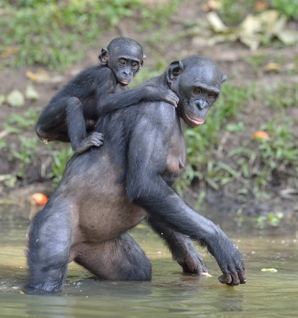 pan paniscus: Bonobo standing on her legs in water with a cub on a back standing. The Bonobo ( Pan paniscus). Democratic Republic of Congo. Africa Stock Photo