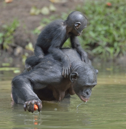 Bonobo standing on her legs in water with a cub on a back and drinks water. The Bonobo (Pan paniscus). Democratic Republic of Congo. Africa