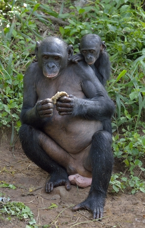 pan paniscus: Eating female Bonobo with a cub on a back. The Bonobo ( Pan paniscus). Democratic Republic of Congo. Africa