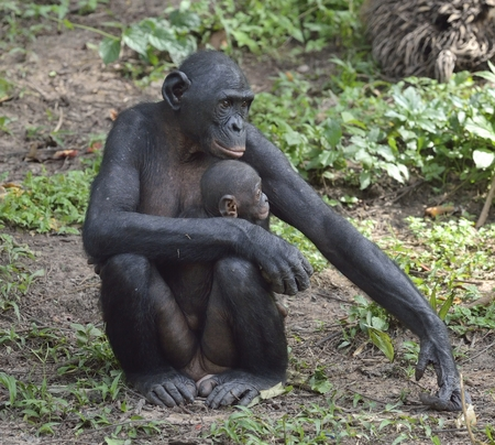 pan paniscus: Mother and Cub of chimpanzee Bonobo. Bonobo female  with a cub.  The Bonobo ( Pan paniscus). Democratic Republic of Congo. Africa