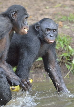pan paniscus: The bonobo ( Pan paniscus), formerly called the pygmy chimpanzee and less often, the dwarf or gracile chimpanzee. Democratic Republic of Congo. Africa