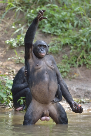 bonobo: Bonobo standing on her legs with a cub on a back and hand up. The Bonobo ( Pan paniscus). Democratic Republic of Congo. Africa