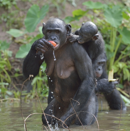 bonobo: Eating female Bonobo with a cub on a back. The Bonobo ( Pan paniscus). Democratic Republic of Congo. Africa