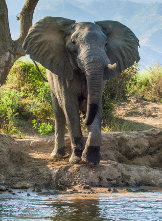 The Angry African bush elephant (Loxodonta africana) on the river bank. Sunset light Stock Photo