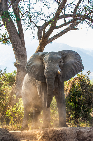 loxodonta: The Angry African bush elephant (Loxodonta africana) in dust . Sunset light