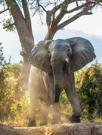 africana: The Angry African bush elephant (Loxodonta africana) in dust . Sunset light