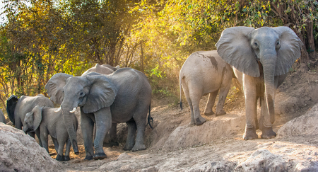 The  African bush elephants (Loxodonta africana). Sunset Light. Zambia