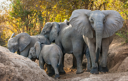 The  African bush elephants (Loxodonta africana). Sunset Light. Zambia
