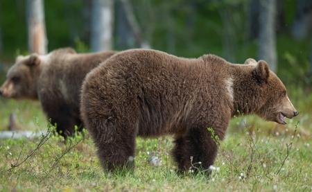 arctos: Brown bears (Ursus Arctos) in summer forest Stock Photo