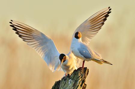 ridibundus: Black-headed Gull (Larus ridibundus)  on the natural sunrise sky background. Front . Two gulls sitting on a old tree in sunrise light. Sunise light background
