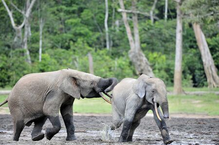 The attacking Elephant. Forest Elephant (Loxodonta africana cyclotis), (forest dwelling elephant) of Congo Basin. Dzanga saline (a forest clearing) Central African Republic, Dzanga Sangha. Africa Stock Photo