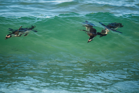 jackass: African penguins swimming in ocean wave. The African penguin (Spheniscus demersus), also known as the jackass penguin and black-footed penguin is a species of penguin. South Africa.