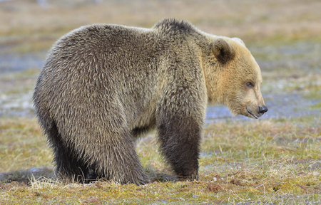 cruel: Close-up Portrait  of young Brown Bear (Ursus arctos) on a swamp in the spring forest Stock Photo