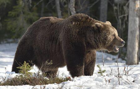 Close-up portrait d'hommes adultes de l'ours brun (Ursus arctos) dans la forêt de printemps.