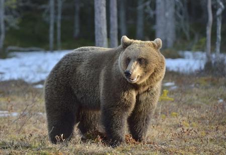 Brown Bear (Ursus arctos) on a bog in the spring forest.