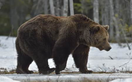 Adult Male of Brown Bear (Ursus arctos)on the snow on swamp in spring forest. Stock Photo