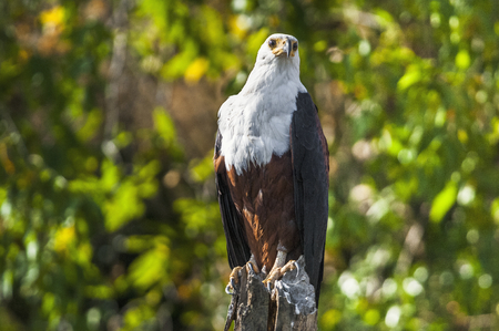 bird eating raptors: The African Fish Eagle (Haliaeetus vocifer) or distinguish it from the true fish eagles the African Sea Eagle is a large species of eagle. It is the national bird of Zimbabwe and Zambia.