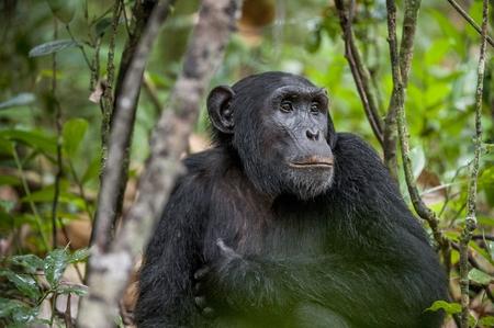 Close up portrait of chimpanzee ( Pan troglodytes ) resting in the jungle. Natural habitat. Kibale forest in Uganda