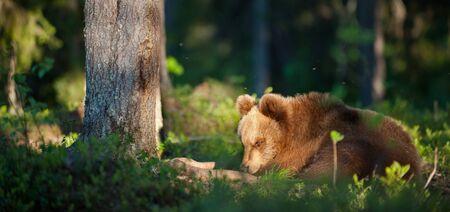 wild brown bear: Wild Brown bear (ursus Arctos) in the summer forest