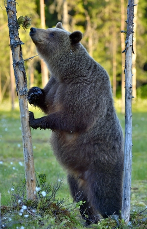 The She-bear standing on his hind legs. Ursus Arctos (Brown Bear)