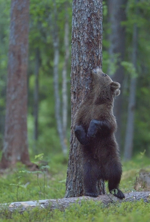 hinder: The Cub of Brown Bear (Ursus Arctos) standing on hinder legs in the summer forest Natural green Background Stock Photo