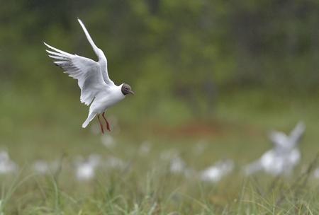 Black-headed Gull (Larus ridibundus) in flight on the green nature background