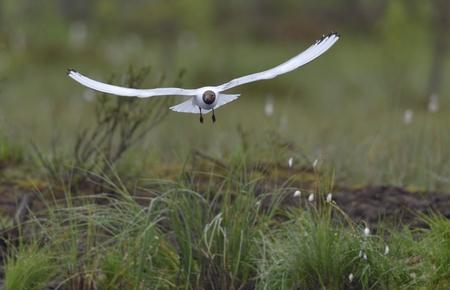 ridibundus: Black-headed Gull (Larus ridibundus) in flight on the green nature background