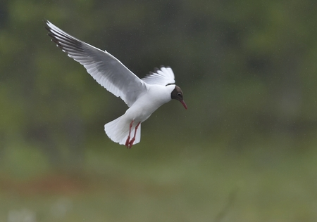 Black-headed Gull (Larus ridibundus) in flight on the green nature background