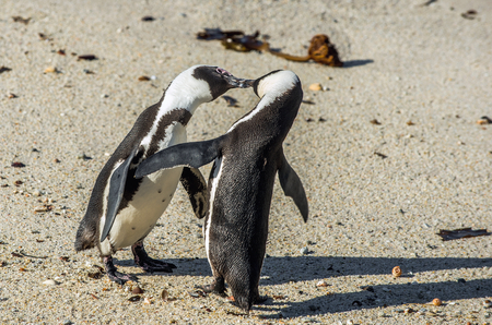africa kiss: Kissing Penguins on the beach. African penguins during mating season. African penguin ( Spheniscus demersus) also as the jackass penguin and black-footed penguin. Boulders colony. South Africa