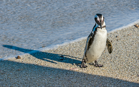 spheniscus demersus: African penguins  on the sandy beach in sunset light. African penguin ( Spheniscus demersus) also known as the jackass penguin and black-footed penguin. Boulders colony. Cape Town. South Africa Stock Photo