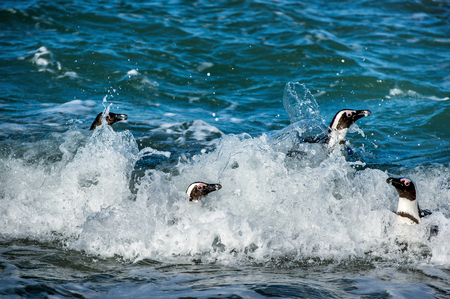 spheniscus demersus: African penguins swim out of foam of the surf. African penguin ( Spheniscus demersus) also known as the jackass penguin and black-footed penguin. Boulders colony.  South Africa