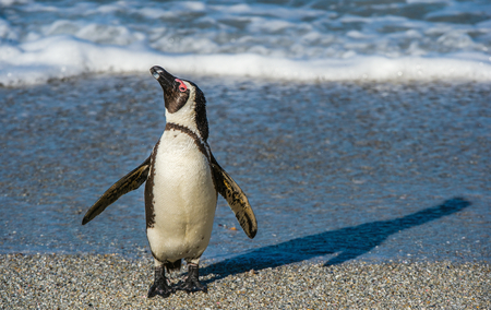 African penguins  on the sandy beach in sunset light. African penguin ( Spheniscus demersus) also known as the jackass penguin and black-footed penguin. Boulders colony. Cape Town. South Africa Stock Photo