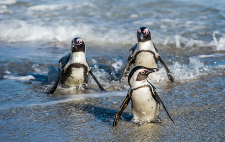 African penguins walk out of the ocean in the foam of the surf. African penguin ( Spheniscus demersus) also known as the jackass penguin and black-footed penguin. Boulders colony.  South Africa Stock Photo