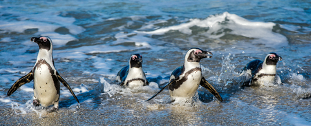 spheniscus demersus: African penguins walk out of the ocean in the foam of the surf. African penguin ( Spheniscus demersus) also known as the jackass penguin and black-footed penguin. Boulders colony.  South Africa Stock Photo