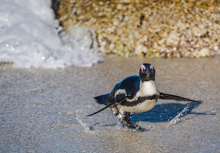 spheniscus demersus: African penguin walk out of the ocean on the sandy beach. African penguin (Spheniscus demersus) also known as the jackass penguin and black-footed penguin. Boulders colony. Cape Town. South Africa Stock Photo