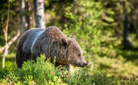 Close up portrait of the Wild Brown bear (Ursus Arctos Arctos) in the summer forest. Natural green Background
