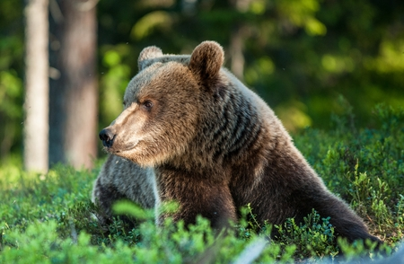 Close up portrait of Adult Wild Brown bear (Ursus Arctos Arctos) in the summer forest. Natural green Background