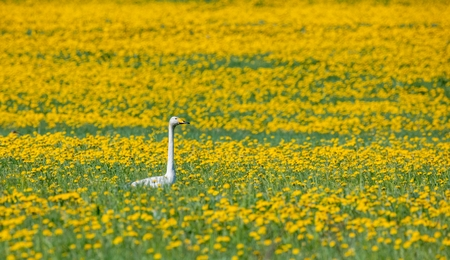 wildanimal: swan sitting in the yellow flowers on the field. Spring time. Stock Photo