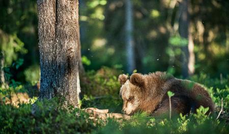 arctos: Cubs of Brown bear (Ursus Arctos Arctos) in the summer forest. Natural green Background Stock Photo