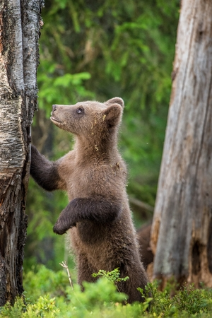 widespread: Cub of Brown bear (Ursus Arctos Arctos) in the summer forest. Natural green Background