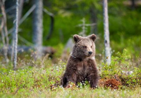 arctos: Cub of Brown bear (Ursus Arctos Arctos) in the summer forest. Natural green Background